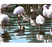 Flamingo Reflections Photographic Print