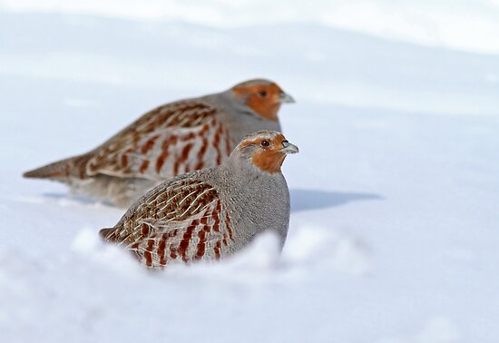 Nestled in the Snow by Bill McMullen