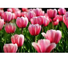 High Park Tulips Photographic Print