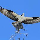 Ospreys return to rebuild nest! by jozi1
