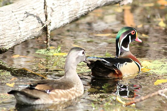 Wood Duck Duo  by Edith Reynolds