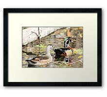Wood Duck Duo  Framed Print