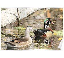 Wood Duck Duo  Poster