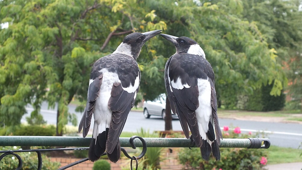 Juvenile Magpies by shortshooter-Al