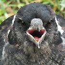 Aussie Magpie - Juvenile by shortshooter-Al