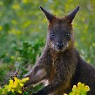 Swamp Wallaby by Phil Thomson IPA