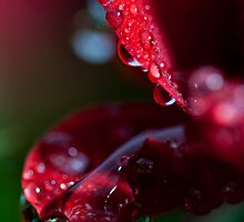 macrose2 with some dew by photo-Art
