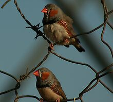 Zebra Finch Pair by paulmarkey