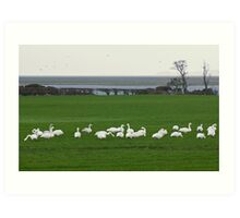 Life On The Solway - The Swans From Iceland Art Print
