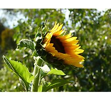 Sunflower freedom Photographic Print