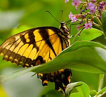 Monarch by Dan Lauf