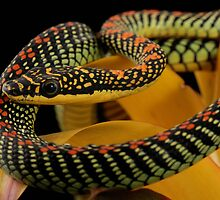 flying paradise tree snake by AngiNelson