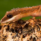 The curious Cat gecko by AngiNelson