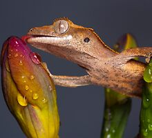 Drinking Crested gecko by Angi Wallace
