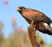 Harris's Hawk by Kathleen Brant