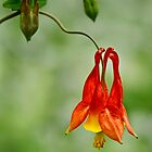 Wild Columbine by cclaude