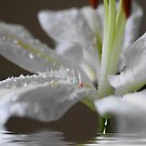 White Lilly.. by Joyce Knorz