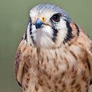 American Kestrel by Bryan Peterson