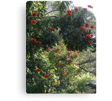African Tulip Trees -  ...Arboles De Tulipa  Canvas Print