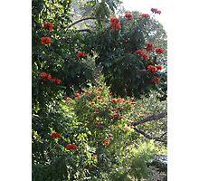 African Tulip Trees -  ...Arboles De Tulipa  Photographic Print