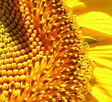 Girasol, Chiclana, Spain 2011 by Timothy Adams