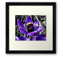 BUMBLE BEE IN CROCUS Framed Print