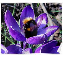 BUMBLE BEE IN CROCUS Poster