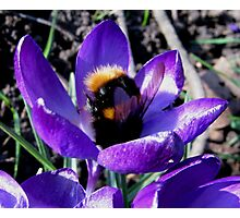 BUMBLE BEE IN CROCUS Photographic Print