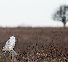 Snowy Owl in a field by michelsoucy