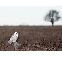 Snowy Owl in a field Photographic Print