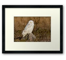 Snowy Owl perched on a rock Framed Print