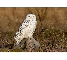 Snowy Owl perched on a rock Photographic Print