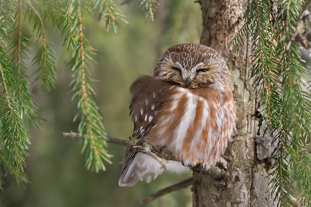 Leap Day Northern Saw-whet Owl. by Daniel Cadieux