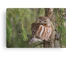 Leap Day Northern Saw-whet Owl. Canvas Print