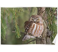 Leap Day Northern Saw-whet Owl. Poster