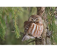 Leap Day Northern Saw-whet Owl. Photographic Print