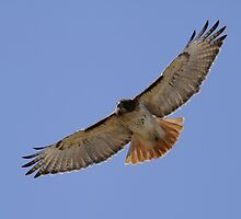 Hawk in flight by Gregg Williams