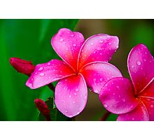 Pink Plumeria 1117 Photographic Print