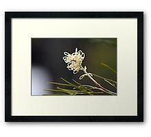 Grevilea Flowers Framed Print