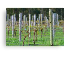 Vino Vines Canvas Print