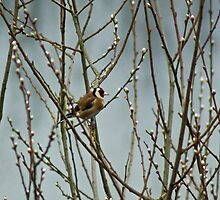 Goldfinch in A Willow by VoluntaryRanger