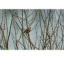 Goldfinch in A Willow Photographic Print