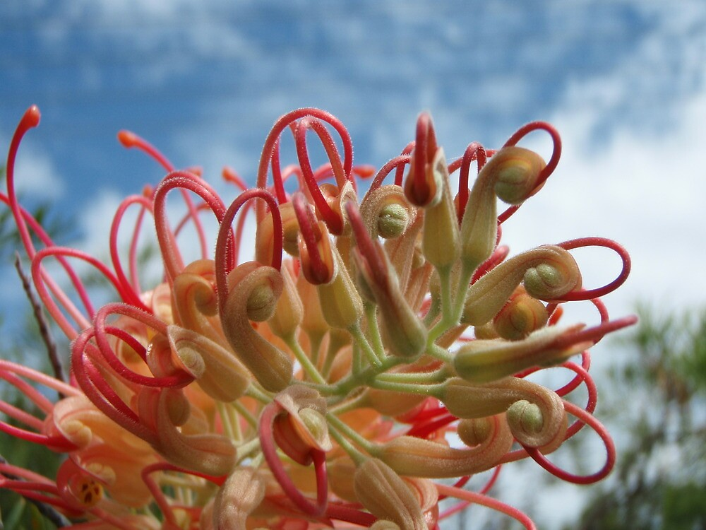 Pink Grevillia in the Sun by amgmcpherson