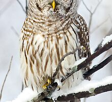 Barred Owl in winter by michelsoucy