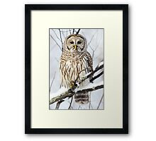 Barred Owl in winter Framed Print