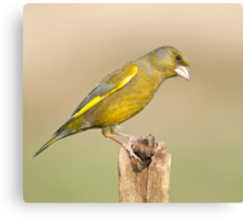 Greenfinch Canvas Print