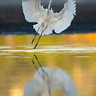 Great Egret, Ardea alba, landing at Lake Joondalup by Haggiswonderdog