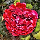Drama Rose  by GolemAura