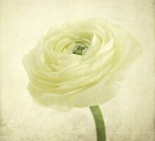 ranunculus blossom by Iris Lehnhardt