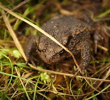 One of nature's beauties - Common Toad by steppeland